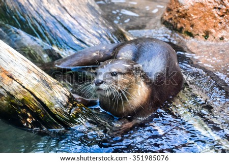 Photo Picture of a Water Mammal Nutria Aonix Cinerea