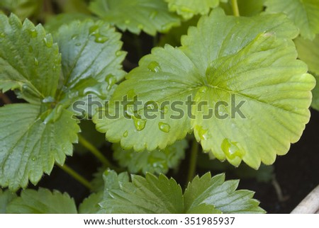 Strawberry leaves in shade with water droplets #351985937