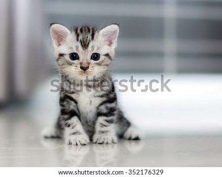 Cute American shorthair cat kitten #352176329