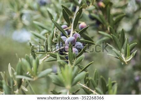 Olives on olive tree #352268366