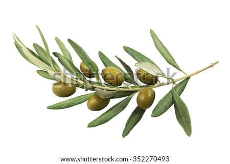 Olive branch with green olives on a white background isolated Royalty-Free Stock Photo #352270493