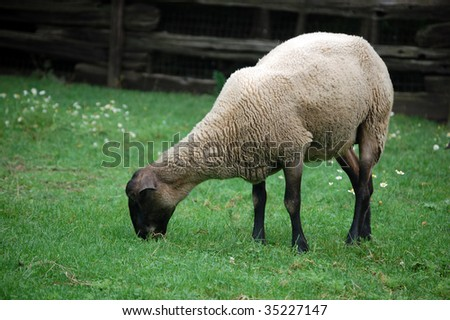 sheep grazing grass / domestic animal #35227147