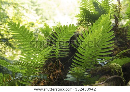 Fronds of rock polypody, Polypodium virginianum, with translucent backlighting, along shoreline of Mountain View Lake, Sunapee, New Hampshire. Royalty-Free Stock Photo #352433942