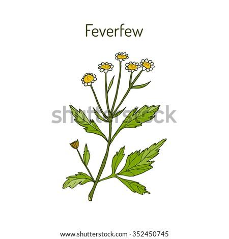 Feverfew - medicinal plant. Vector illustration #352450745