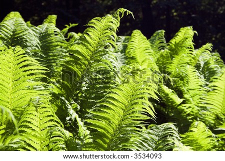 Back lit leaves of a fern #3534093