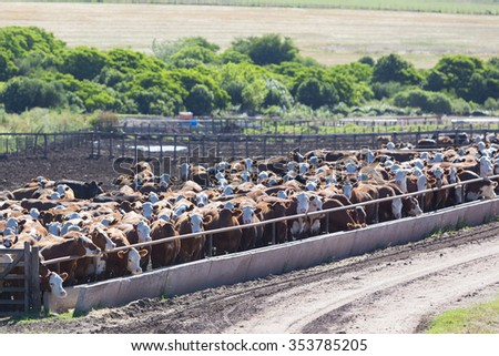 Group of brown cows looking at the camera in a farm land in Uruguay. This is the result of intensive livestock business in South America 2014. #353785205