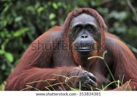 Orangutan Portrait. Portrait of the adult male of the adult orangutan in the wild nature. Island Borneo. Indonesia. Royalty-Free Stock Photo #353834381