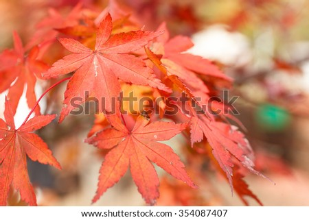 Background of maple in autumn #354087407