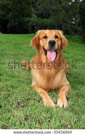 Golden Retriever Dog #35436064