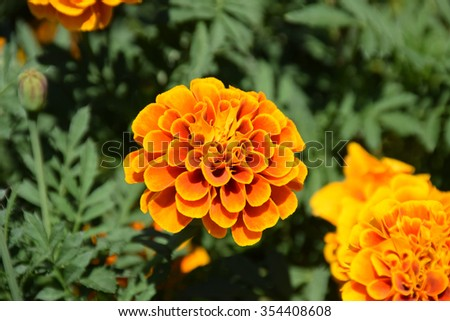 Marigold flowers. Marigold flowers in the meadow in the sunlight. Yellow marigold flowers in the garden. Closeup flower. Yellow and orange marigolds #354408608