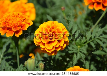 Marigold flowers. Marigold flowers in the meadow in the sunlight. Yellow marigold flowers in the garden. Closeup flower. Yellow and orange marigolds #354466685