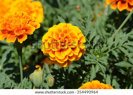 Marigold flowers. Marigold flowers in the meadow in the sunlight. Yellow marigold flowers in the garden. Closeup flower. Yellow and orange marigolds #354490964