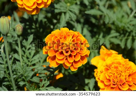 Marigold flowers. Marigold flowers in the meadow in the sunlight. Yellow marigold flowers in the garden. Closeup flower. Yellow and orange marigolds #354579623