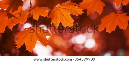 maple leaf red autumn sunset tree blurred  background #354599909
