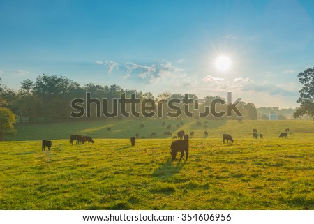 Grazing Cows in a Kentucky Field #354606956