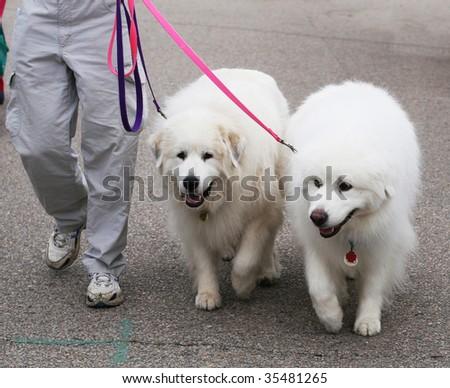 two great pyenees dogs #35481265