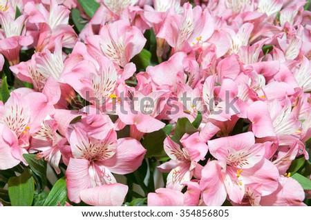 Pink alstromeria flower composition   #354856805