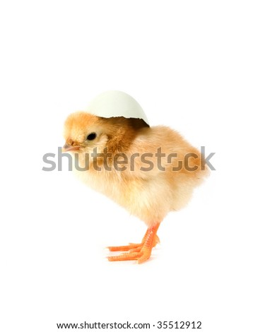 one chick on white background #35512912