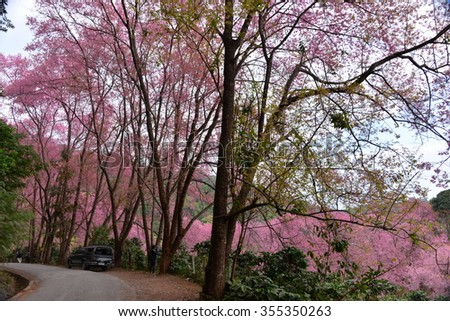 Chiang Mai ,Thailand - January 13, 2014 : Wild Himalayan cherry landscape in house of sakura at khun chang kian , Chiangmai , Thailand #355350263