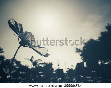 cosmos flowers #355566584