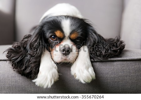 portrait of cute cavalier spaniel #355670264