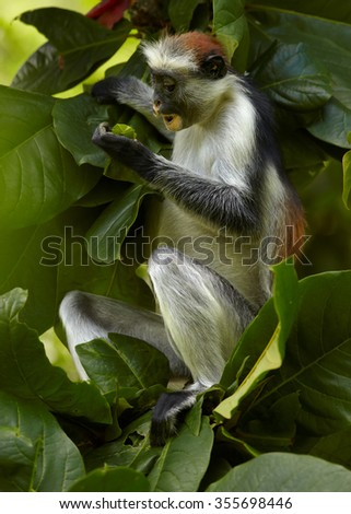 Close up vertical photo of rare Zanzibar Red Colobus,Piliocolobus kirkii on branch, feeding on fruit between leaves in Zanzibar's Jozani forest. Nice blurred background with lens bokeh effect.  #355698446