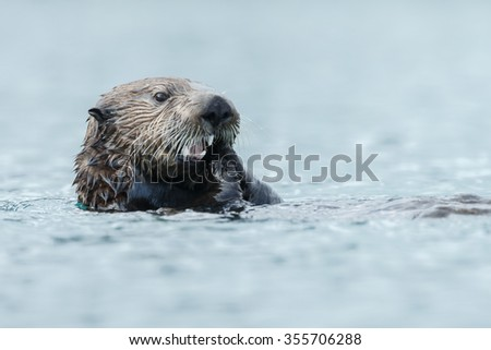 Sea otter eats something while floating in the ocean. #355706288