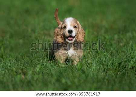 american cocker spaniel puppy #355761917