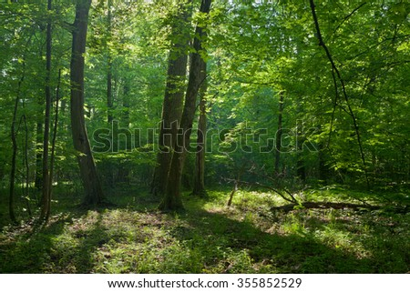 Old oask and hornbeams in natural late summer deciduous stand of Bilowieza Forest,Bialowieza Forest,Poland,Europe #355852529