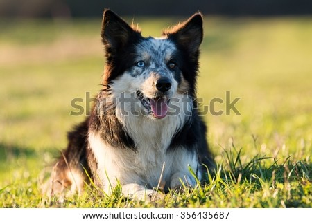Border collie lying on the grass on a sunny day #356435687