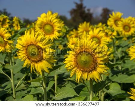 Sunflower field #356697497
