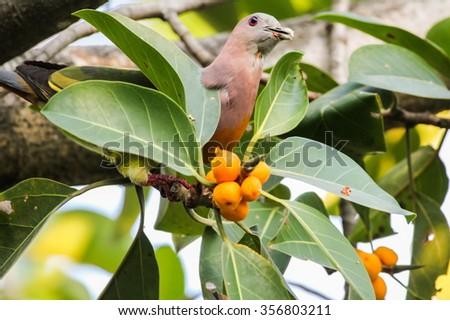 Pink-necked Pigeon, Bird #356803211