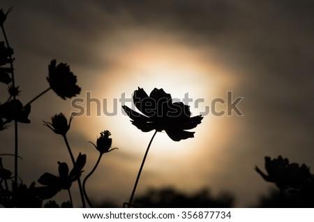 silhouette cosmos flower