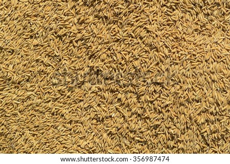 Paddy rice background #356987474