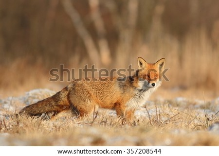 Mammals - European Red Fox (Vulpes vulpes) #357208544