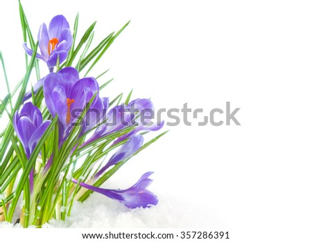 Colorful Purple Crocus Flower Blooms Growing in Icy Snow in Winter but changing to early Spring.  Side view on white background with room or space for copy, text, your words.  Horizontal closeup. #357286391