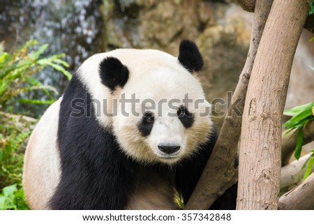 Picture of a cute giant panda with a funny looking face