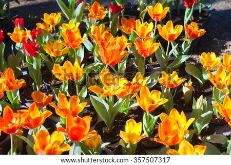 Fresh colorful tulips in warm sunlight #357507317