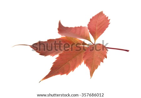 autumn leaves of vine on a white background #357686012