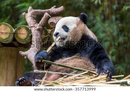 Panda eating bamboo   #357713999