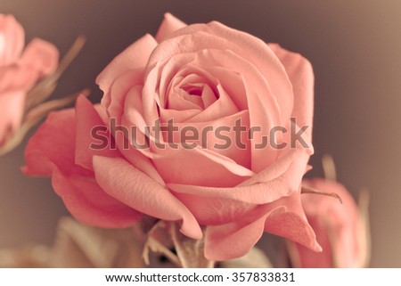 Macro picture of a Rose (infinity Rose)
