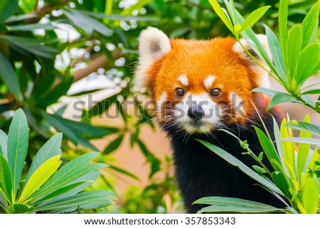 Closeup Picture of a cute red panda