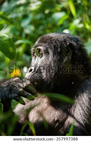 Portrait of a mountain gorilla at a short distance.  gorilla  close up portrait.The mountain gorilla (Gorilla beringei beringei)  #357997388