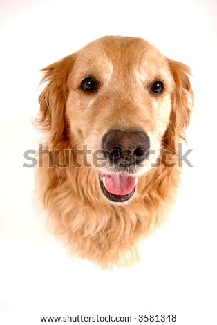 Golden retriever dog, taken at fun angle with wide angle lens #3581348