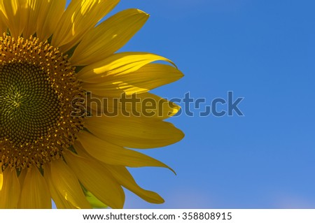 Close up Sunflowers, beautiful Unseen Thailand flowers,yellows flowers #358808915