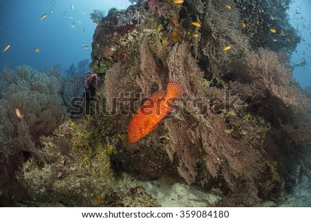 Red spotted grouper (Cephalopholis miniata) swimming over the soft corals. #359084180