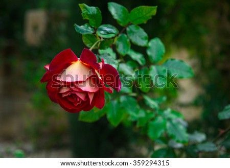 A one red rose in the garden