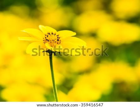 yellow flower in garden #359416547