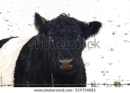Rare Breed Belted Galloway Cattle #359754881