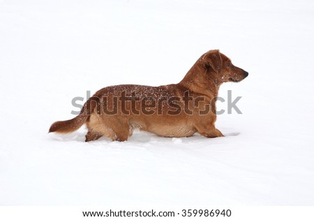 Dog dachshund in the deep snow #359986940